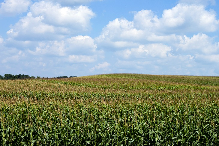 Cornfield_July_blog.jpg
