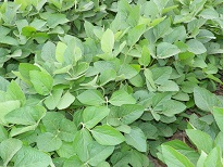 soybean_plants.jpg