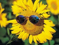 Sunflower_with_sunglasses.jpg