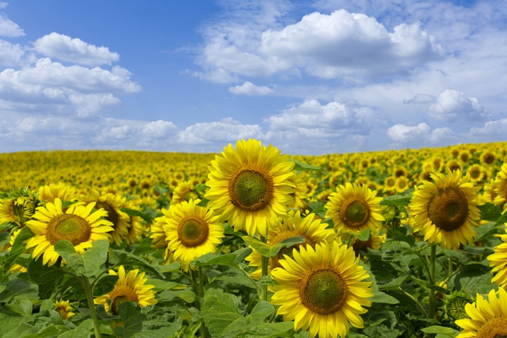 sunflowers_blog.jpg